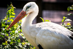 Cegonha branca (Ciconia-Ciconia) Imagem de Stock