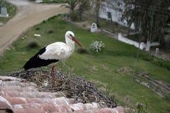 Cegonha branca, ciconia do Ciconia, Imagens de Stock
