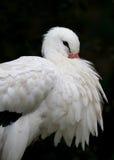 Cegonha branca (ciconia do Ciconia) Foto de Stock