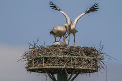 Cegonha branca (ciconia do Ciconia) Foto de Stock Royalty Free
