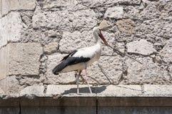 Cegonha branca, ciconia do Ciconia Imagens de Stock Royalty Free