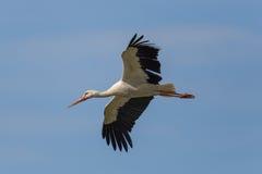 Cegonha branca de voo (ciconia do Ciconia) no céu azul Fotografia de Stock Royalty Free