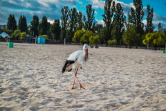 Cegonha branca e preta na praia Fotografia de Stock