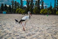 Cegonha branca e preta na praia Fotos de Stock Royalty Free