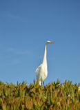 Cegonha branca na praia Fotografia de Stock Royalty Free