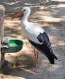 Cegonha branca no jardim zoológico Fotos de Stock Royalty Free