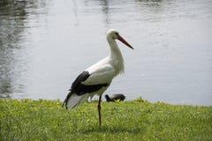 Cegonha branca no prado no lago Imagem de Stock