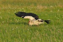 A cegonha branca que procura o alimento no prado Pés e bico vermelhos longos mowing fotos de stock royalty free