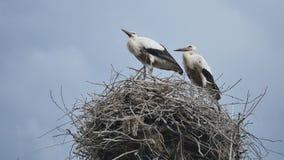 A cegonha constrói um ninho dos galhos vídeos de arquivo