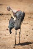 Cegonha de marabu Fotografia de Stock