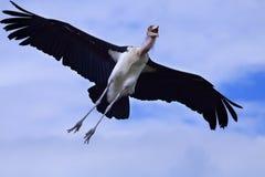 Cegonha de marabu Imagens de Stock Royalty Free