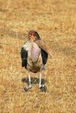 Cegonha de marabu Imagens de Stock