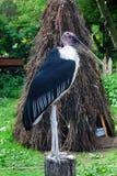 Cegonha de marabu Imagem de Stock Royalty Free