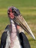 Cegonha de marabu extrema do close up Foto de Stock