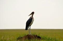 Cegonha de marabu no Serengeti fotos de stock