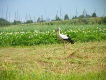 A cegonha do pássaro anda nos campos da batata imagem de stock