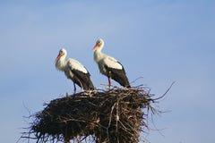 Cegonha dois branca com bico vermelho e as asas pretas que sentam-se em seu ninho Fotos de Stock