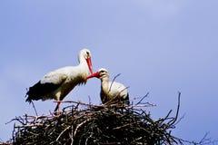 Cegonha dois branca com bico vermelho e as asas pretas que sentam-se em seu ninho Fotografia de Stock Royalty Free
