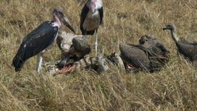 Cegonha e abutres de marabu que alimentam em uma zebra inoperante na reserva do jogo de mara do Masai video estoque