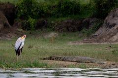 Cegonha e o crocodilo Fotos de Stock Royalty Free