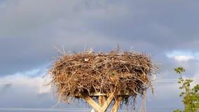 A cegonha fêmea e masculina está voando sobre o ninho, o ninho da cegonha e a fêmea, cegonhas masculinas, filme