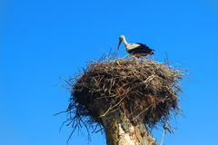 Cegonha no ninho no verão Imagens de Stock Royalty Free
