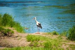 Cegonha pelo lago Fotos de Stock