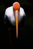 Cegonha pintada Fotografia de Stock
