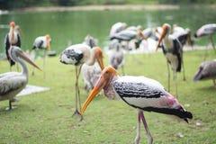 cegonha pintada no jardim zoológico Imagem de Stock Royalty Free