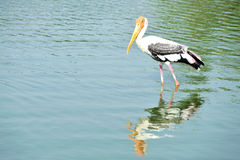 Cegonha pintada que está em uma água Imagem de Stock
