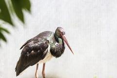 Cegonha preta com conta vermelha, negro do Ciconia, sentando-se no ninho na conta vermelha longa da floresta com plumagem lustros Fotografia de Stock
