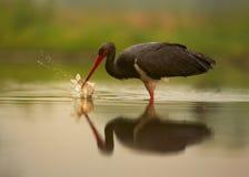 Cegonha preta, negro do Ciconia com espirro de peixes Imagens de Stock Royalty Free