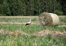 Cegonha que anda no prado Fotografia de Stock