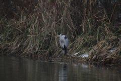 A cegonha que descansa no lago antes de voar às terras distantes imagem de stock royalty free