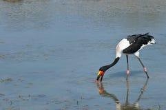 cegonha Sela-faturada que alimenta no waterhole Foto de Stock