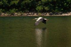 A cegonha voa sobre a água Foto de Stock