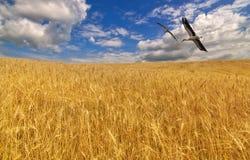 Cegonhas acima do campo de trigo dourado Imagens de Stock Royalty Free