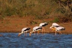 cegonhas Amarelo-faturadas que forrageiam - parque nacional de Kruger fotos de stock