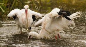 Cegonhas brancas Foto de Stock