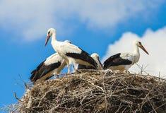 Cegonhas brancas Fotografia de Stock