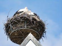 Cegonhas brancas em seu ninho Fotografia de Stock