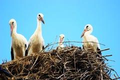 Cegonhas brancas no ninho Fotos de Stock Royalty Free