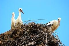 Cegonhas brancas no ninho Foto de Stock Royalty Free
