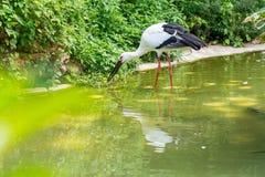 Cegonhas brancas que rezam um peixe em sua boca em um lago Imagens de Stock