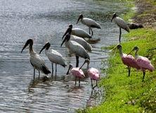 Cegonhas de madeira e spoonbills, Florida Imagens de Stock Royalty Free