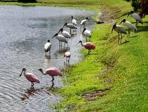 Cegonhas de madeira e spoonbills, Florida, EUA Imagem de Stock