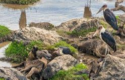 Cegonhas de marabu no gnu inoperante em Mara River, Kenya Fotos de Stock Royalty Free