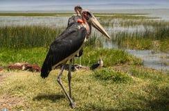 Cegonhas de marabu no lago Hawassa Imagens de Stock