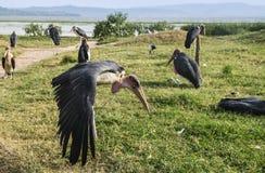 Cegonhas de marabu no lago Hawassa foto de stock royalty free