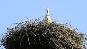 Cegonhas em um ninho video estoque